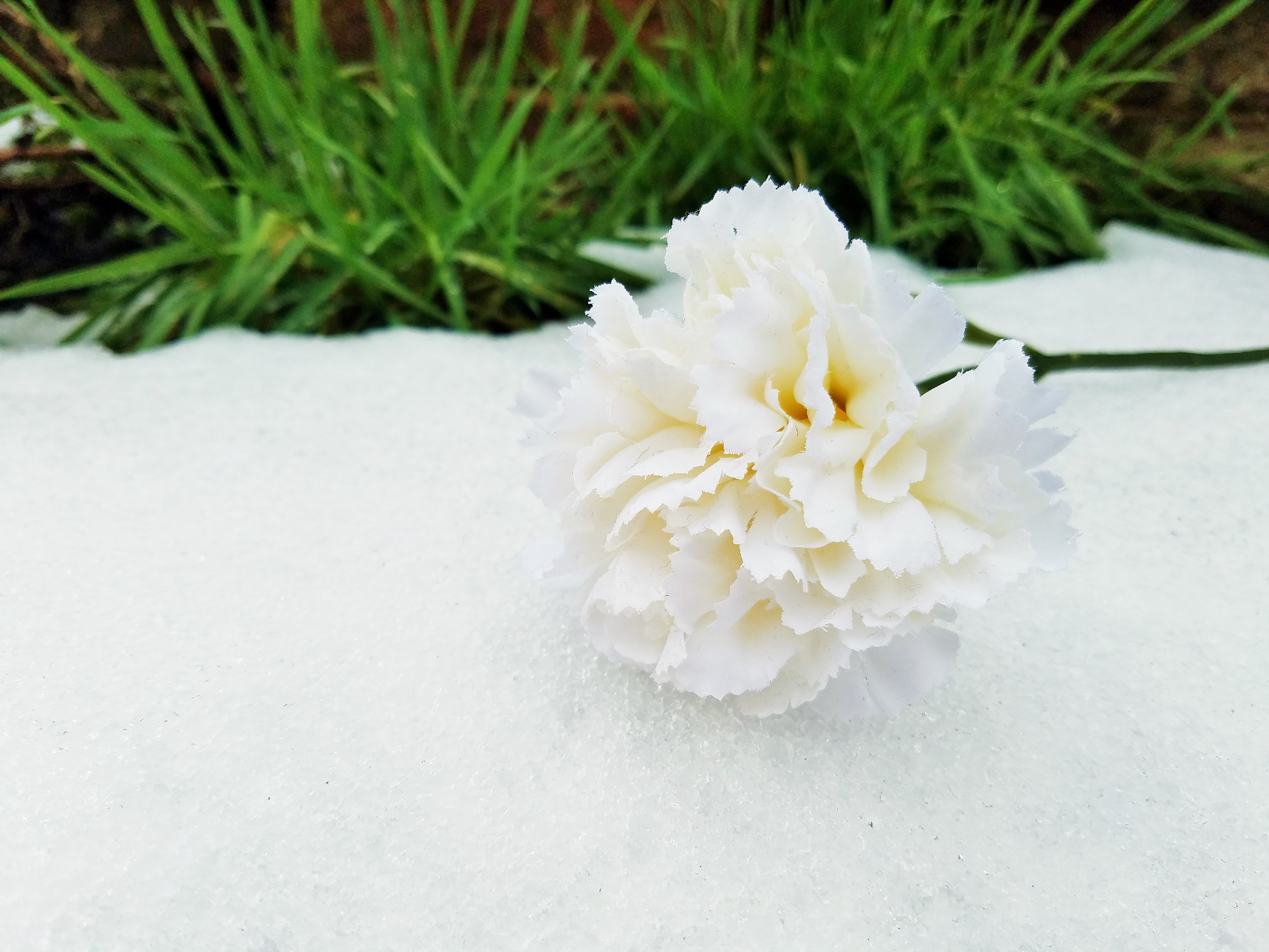 Positive Language - white rose on crisp white snow Blogcrush Week 50